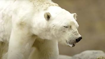 Osos polares en camino a la extinción: afirman expertos [VIDEO]