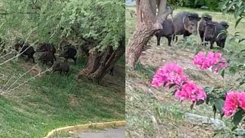 VIDEO: Familia de jabalíes pasea en la coloniaContryLa Silla