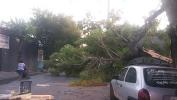 Cae árbol y obstruye calle en la colonia Independencia